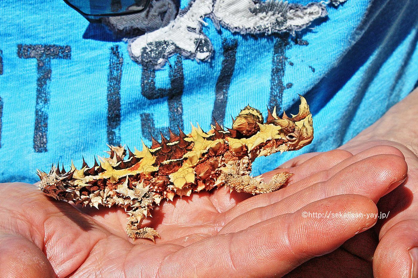 オーストラリア世界遺産「ウルル-カタ・ジュタ国立公園」 - モロクトカゲ(Thony Devil)